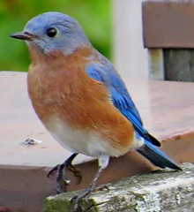 Eastern Bluebird, Urban Forestry Center, Portsmouth, NH 9/27/16 (LJHankandKaren) Tags: bluebird easternbluebird urbanforestrycenter