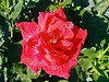 Hibisco Rosa-Sinensis - Hibisco - Flora - Graal Estrela - Queluz-SP (Regis Silbar) Tags: regissilbar regis silbar hibiscusrosasinensis hibisco flor florvermelha flora sp estadodesãopaulo queluz