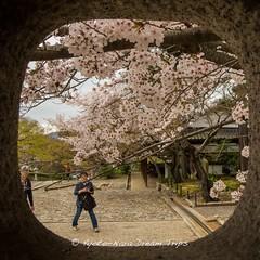 Sakura at Shinnyod Temple in Kyoto! (KyotoDreamTrips) Tags: kyoto  sakura cherryblossoms hanami   shinnyod