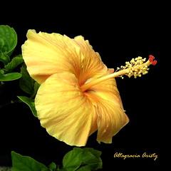 Hibisco/Hibiscus (Altagracia Aristy) Tags: blackbackground amrica dominicanrepublic hibiscus hibisco tropic caribbean antilles laromana cayena caribe fondonegro carabe trpico antillas sfondonero quisqueya altagraciaaristy fujifilmfinepixhs10 fujihs10 fujifinepixhs10 rep{ublicadominicana