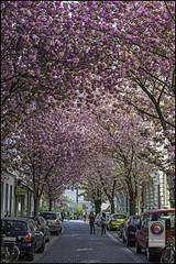 Bonn-Kirschbluete-24 (kurvenalbn) Tags: deutschland bonn pflanzen blumen nordrheinwestfalen frhling kirschbluete
