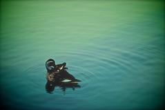 Ripples (aotaro) Tags: duck  wavelet circularripples yakushiikepark slta57 circularwavelet