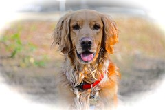 My shaggy boy..... (tvdflickr) Tags: dog pet goldenretriever golden nikon canine retriever petportrait d610 nikonflickraward nikond610 photosbytomdriggers photobytomdriggers thomasdriggersphotography