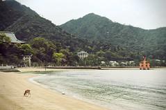 Miyajima (karolajnat) Tags: trip castle history beach japan cherry island memorial asia peace blossom hiroshima deer miyajima dome sakura bomb past atomic torii hanami japaneese peacememorial japonia floatin karolajnat hiroszima honshiu floatintori