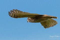 Great Horned Owl owlet takes to the air