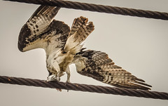 Richmond Harbor~~Osprey with fish  05/28/2015 (CatsMan2) Tags: bird nature fishing calif osprey