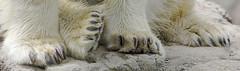 all paws (ucumari photography) Tags: bear animal mammal zoo oso nc north polarbear carolina april paws ursus ursusmaritimus oursblanc 2015 osopolar ourspolaire specanimal specanimalphotooftheday ucumariphotography dsc0144