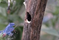 Xylocopa iris f - 30 V 2015 (el.gritche) Tags: hymenoptera france 40 garden apidae xylocopinae xylocopairis xylocopa iris nest behavior bee abeille