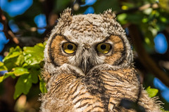 Great horned Owlet (Eric SF) Tags: california fremont coyotehills owlet bestpractices ebparks greathornedowlet ebparksok