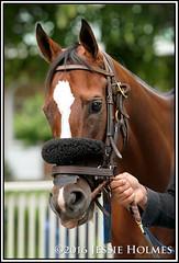 Coppa (Spruceton Spook) Tags: horses horseracing belmontpark coppa starsandstripesfestival victoryridestakes