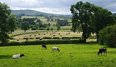 Near the village of Hartington (Blue sky and countryside.) Tags: green fields blueskyandcountryside hartington peak district national park england cows grazing trees pentax hills derbyshire