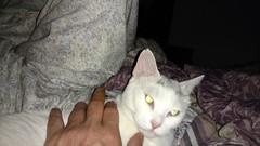 Mog O Rama 2016 (The All-Nite Images) Tags: cats animals kitties mogs ottoyamamoto mogorama theallniteimages