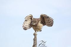 Balancing Act (Seventh day photography.ca) Tags: burrowingowl owl bird predator birdofprey animal wildanimal wildlife carnivore spring florida unitedstates raptor owlet