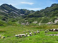 Estive d'Eychelle (Arige) (PierreG_09) Tags: arige pyrnes pirineos couserans montagne eychelle estive troupeau faune brebis mouton