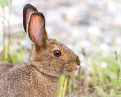 Summer Snowshoe Hare (frostnip907) Tags: snowshoehare hare rabbit wildlife nature alaska animal bunny