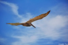 Gliding Pterodactyl.  (gusdiaz) Tags: pelican beach sand vacation summer beautiful colorful amazing ocean glide gliding haulover fl playa vacaciones mar sal arena