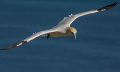 JWL0992  Gannet.. (jefflack Wildlife&Nature) Tags: gannet gannets avian wildlife wildbirds gulls seabirds shorebirds bempton countryside nature birds coastalbirds ngc