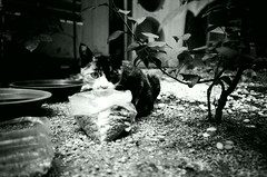 Street Cat - Seoul (Shoji Kawabata. a.k.a. strange_ojisan) Tags: lca lomography eary gray 100 35mm street streetphoto streetphotography lomo seoul korea cats cat streetcat city cityscape analog analogphoto analogphotogrpahy film filmphoto filmphotography filmphotographer analogphotographer black white bnw monochrome aisa eastasia blackandwhite