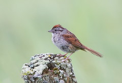 Swamp Sparrow (mandokid1) Tags: birds canon sparrows canon500f4 idmk1v