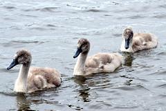 Three in a row (c.marney) Tags: cygnets swan