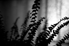 In the window (will668) Tags: windows blackandwhite bw plant abstract fern window leaves silhouette houseplant minimal foliage lightanddark subtle inthewindow sunlightthroughawindow