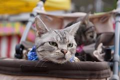 cat #1370 (K-nekoTR) Tags:  cat americanshorthair beautiful cute kitty pretty pet animal japan japanese sony