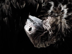 Nubian vulture (Torgos tracheliotos) (Mel's Looking Glass) Tags: africa bird vulture nubian lappetfaced torgos tracheliotos