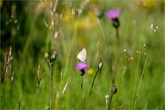 nature.......... (atsjebosma) Tags: flowers summer macro nature butterfly ngc july npc zomer juli bloemen vlinder lafrance 2016 atsjebosma