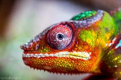 Focus (cynic_images) Tags: pantherchameleon colorful macro newport chameleon newportaquarium reptile kentucky cincinatti