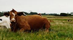 Cow pin-up (Budoka Photography) Tags: animal outdoor cow