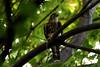 Faucon pèlerin ----------- Peregrine falcon ----------- Halcón peregrin (Jacques Sauvé) Tags: oiseau bird ave proie prey faucon pèlerin peregrine falcon halcón peregrin surprise plein centre ville un cri familier dans lérable oui hauteur cinquième étage arrondissement marie montréal québec canada