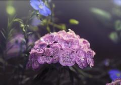 Magenta Canopy (zuni48) Tags: flowersandplants pink magneta lightleaks bokeh topaztextureeffects topazsoftware alienskinexposure macro closeup zunikoff