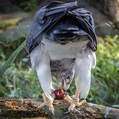 Velando el desayuno (carlosgonzalezh.colombia) Tags: aguila animal ave depredadora depredador hambre comida carne garras plumas textura pico tronco canon zoolgico