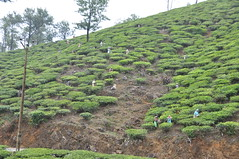 More workers on the precarious slope in the tea garden (oldandsolo) Tags: kerala india godsowncountry vagamon vagamonhills idukkidistrict munnarteagardens munnarteaestate vagamonmunnarteagardens teaplantation hillscenery nature photography takingpictures agriculture teacultivation teabushes teaestate teagarden teaworkers manuallabour meniallabour hardwork headload