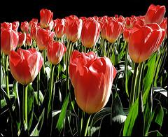 Tulipani (ninin 50) Tags: tulipani fiori photoilfineart ninin