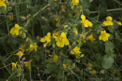 "Monkeyflower • <a style=""font-size:0.8em;"" href=""http://www.flickr.com/photos/63501323@N07/28825999925/"" target=""_blank"">View on Flickr</a>"