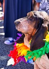 Proud pooch (sussexscorpio) Tags: portrait basset hound dog pride pride2016 gaypride brightonpride brightonpride2016 street seafront coast hove hovelawns sunshine fun colour colourful sussex eastsussex canon60d canon brighton parade festival carnival outdoor bassethound garland pooch animal cute canine doggie feathers rainbow lgbt pets