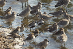 Dunlin still in breeding plumage (bramblejungle) Tags: dunlin calidris alpina