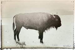 South Dakota '16 (R24KBerg Photos) Tags: animal buffalo bison landscape nature outdoors grassland prairie 2016 canon america usa unitedstates sd southdakota sunrise morning tatanka blackandwhite photoshop