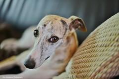Reid (Rex Montalban Photography) Tags: rexmontalbanphotography dog whippet