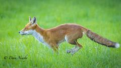 Country fox, (davenewby123) Tags: countryfox wildlife countryside nature fox farmland unitedkingdom england davidnewby animal outdoor pet mammal bright