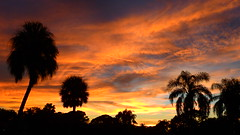 Sunset August 21, 2016 (Jim Mullhaupt) Tags: sunset sundown dusk sun evening endofday sky clouds color red gold orange pink yellow blue tree palm silhouette weather tropical exotic wallpaper landscape nikon coolpix p900 bradenton florida manateecounty jimmullhaupt cloudsstormssunsetssunrises photo flickr geographic picture pictures camera snapshot photography nikoncoolpixp900 nikonp900 coolpixp900 summer
