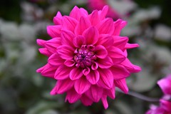 Hot Pink (Carmel..) Tags: flower bloom pink petals vibrant hotpink nature dahlia kilmacanogue avoca wicklow ireland