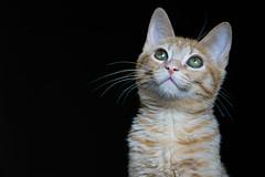 Frida (Thelma Gatuzzo) Tags: domesticanimal portrait gato gatos retrato thelmagatuzzo home animaldomstico gata feline cat 2016 thelmagatuzzophotography cats animal