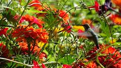 Cantigny Park (visiblejoy) Tags: cantignypark sony dschx400v hx400 cardinal vine zinnia hummingbird rubythroatedhummingbird bird windfieldil wheaton illinois autumncolors fall orange red colors colorful ideagarden