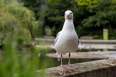 ? (RokerEsp) Tags: gull seagull gaviota animal pjaro bird alas zoo rotterdam nature indiferencia