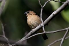 Scaly-breasted Munia (Juvenile) (Tom Nord) Tags: bird laarboretum scalybreastedmunia arboretum botanicalgardens