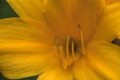 Big Yellow (fs999) Tags: 100iso fs999 fschneider aficionados zinzins pentaxist pentaxian pentax k1 pentaxk1 fullframe justpentax flickrlovers ashotadayorso topqualityimage topqualityimageonly artcafe pentaxart corel paintshop paintshoppro x8ultimate paintshopprox8ultimate masterphotos fleur flower blume bloem macrolife macro makro heidosmat2885mmmc heidosmat 85mm projector projecteur rollei kenko pzaf uniplus tube 25