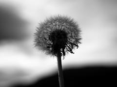 Make a wish and blow it away...... (I'm_alfy) Tags: dandelion wish monochrome blackwhite flower september