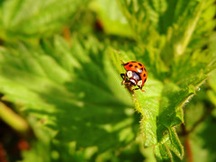 Spotted In The Nettles (Nomadic074) Tags: nature closeup spring colours ladybird ladybug nettles